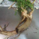 山わさびを自宅で栽培して食べています