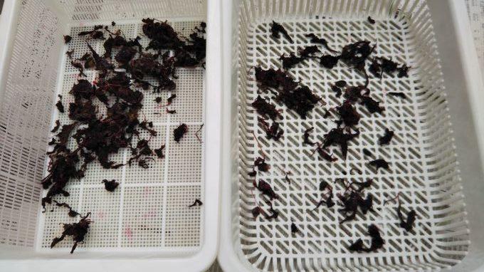 2020梅干の土用干し2日目赤紫蘇