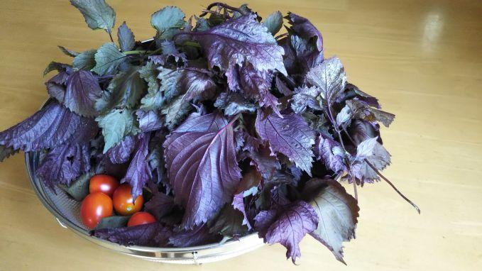 赤紫蘇収穫